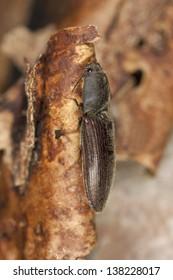 Click beetle on wood, macro photo