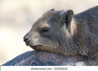 Cliff hyrax on rock. Seen during safari tour at Namibia, Africa.