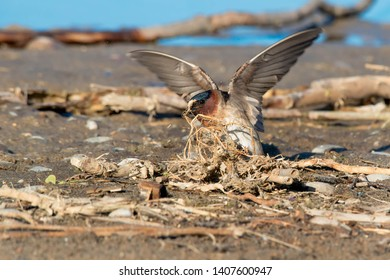 Cliff Swallow collecting nesting material for its nest. Ashbridges Bay Park, Toronto, Ontario, Canada.