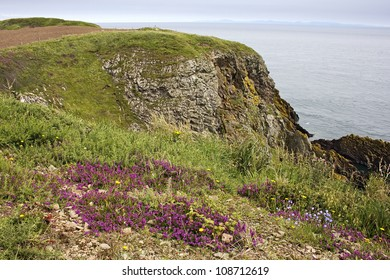 Cliff-top wildflowers at Burrow Head, near Isle of Whithorn, Dumfries and Galloway, Scotland, UK.