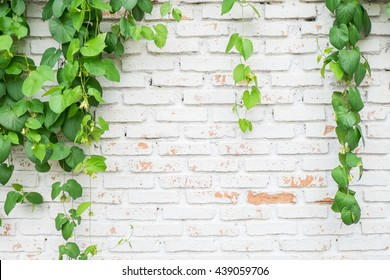 Climber plant with white brick wall background.Old brick wall with green tree.Grungy white brick wall.Dirty brick wall.