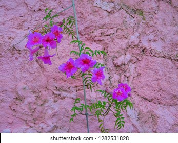 Climbing Bower Vine showing purple flowers against pink wall in Andalusian village
