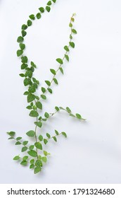 Climbing fig (creeping fig, Ficus pumila), woody evergreen vine, has creeping or vining habit, used in gardens and landscapes where it covers ground and climbs up trees and walls. Foliage, Gardening