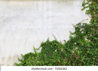 Climbing fig on wall