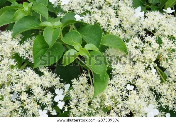 Climbing hydrangea in the garden