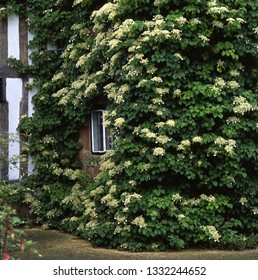 Climbing hydrangea on a wall