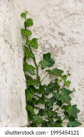 Climbing ivy on the wall