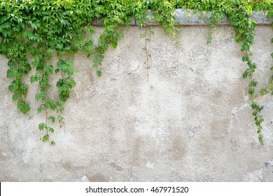 climbing leaves on grey wall background, brick wall, nature frame