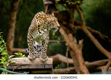 Climbing over  branches of trees is not a difficult task at all, Leopard or Panthera pardus enjoy his amazing long walk.