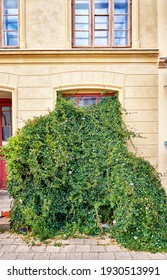Climbing passion plant overgrows a window on a beautiful renovated old building facade.
