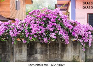 climbing pink flowers on a wall. flower decor