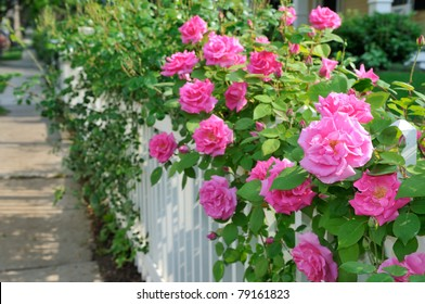 Climbing pink roses on white fence