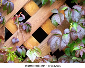climbing plant on a wooden trellis