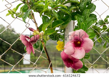Climbing plant pink flowers tropics philippines stock photo edit climbing plant pink flowers in the tropics in the philippines mightylinksfo