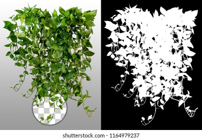 Climbing plant in summer isolated on transparent background via an alpha channel of great precision. Very high quality mask without unwanted edge. High resolution for professional digital composition.