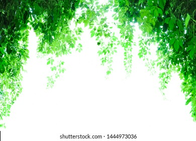 Climbing plants hanging from arch. Backlight. White background