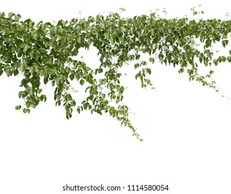Climbing plants or plant tropical foliage vine,Ivy green hang,beautiful tree abstract texture isolated on white background.Concept or objects nature for design and decoration.