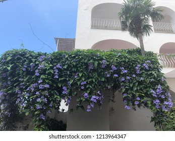 Climbing purple flowers on the white Building