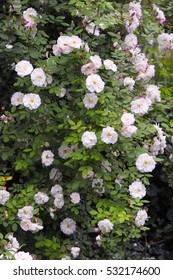 Climbing rambler Rose 'Venusta Pendula' with cascades of white, rosy semi double flowers