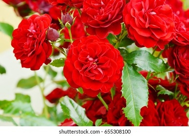 climbing red roses in the garden. Red Flower in the garden.