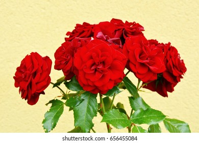 climbing red roses in the garden. Red Flower in the garden with yellow wall background.