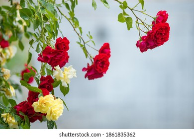 Climbing red yellow roses in garden