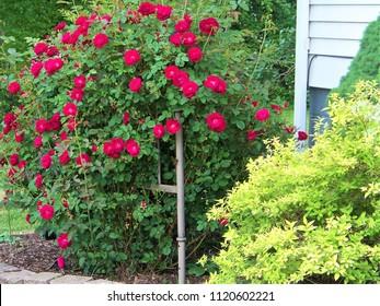 Climbing Rose Bush in Bloom.