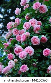 Climbing Rose, Eden