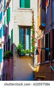 Climbing rose on  venetian house Italy