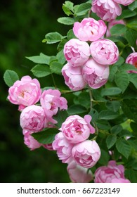 Climbing rose, Raubritter. Breeder Kordes 1936. Rosaceae family