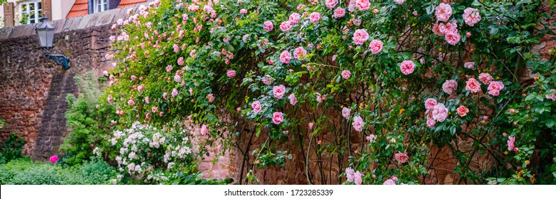 Climbing roses plant,  banner. Big rose bush on vintage stone wall background.