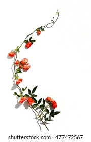 Climbing small roses. Branch climbing orange rose flower with leaves and buds isolated on white.