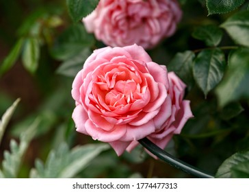 climbing star perfomer pink rose in summer garden