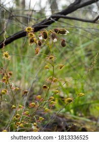 The Climbing Sundew (Drosera macrantha) is a scrambling carnivorous herb with leaves modified to ensnare insects