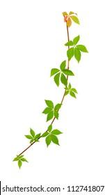 Climbing vine isolated on white