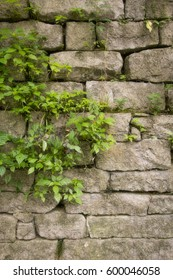 climbing vines on a block concrete wall