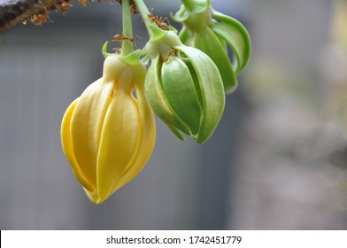 climbing ylang ylang ,climbing lang-lang and ilang-ilang is a shrub found in India and its flowers are renowned for its exotic fragrance.The yellow colored flowers of this plant are very fragrant.