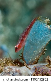 Cling Goby on Ascidian