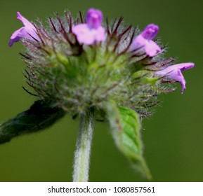 Clinopodium vulgare, Wild basil, rhizomatous perennial herb with four angled hairy stems, opposite lance shaped hairy leaves and pink to purple flowers in whorls forming terminal heads.