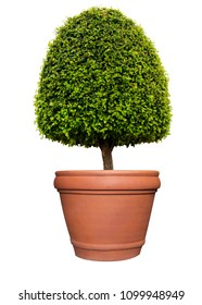 Clipped dome shape symmetrical topiary tree on clay pot isolated on white background for outdoor and garden design
