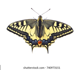 Clipped Swallowtail Butterfly in Natural Environment