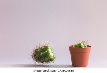 clipped tip of a cactus standing in a pot against a gray background