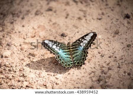 que suis -je ? ajonc 15 février Bravo Martine  - Page 2 Clipper-parthenos-sylvia-apicalis-tropical-450w-438959452