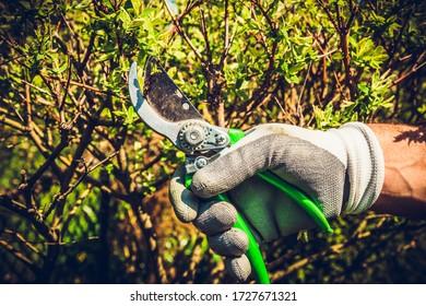 Kletterbüschen mit schneidenden Scheren. Der Mensch schneidet Zweige von Büschen mit Hand schneidenden Scheren. Konzept der Pflege für den Garten, Schönheit des Gartens. Zuteilungszeit. Stubenbildung, Baumdarstellung