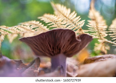 Clitocybe nuda (commonly known as the wood blewit and alternately described as Lepista nuda)