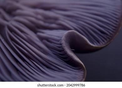 Clitocybe Nuda, Lepista Nuda, Tricholoma Nudum, Wood Blewit, Purple Mushroom On Studio Light And Purple Background Macro Gills