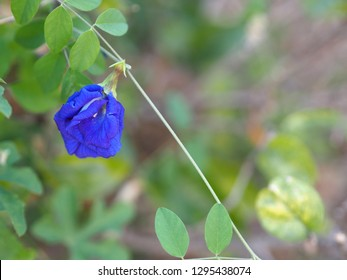 Clitoria ternatea L. , butterfly pea , anthocyanin blue indicator on natural , Rhizobium leguminosarum at root . Mendel genetic