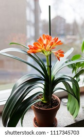 Clivia miniata flower blooming inside