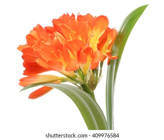 Clivia in a white background