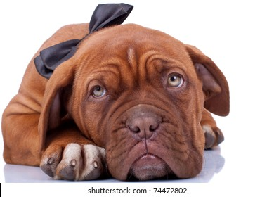 cloaseup of a french mastiff (dogue bordeaux) with a robbon on it's neck
